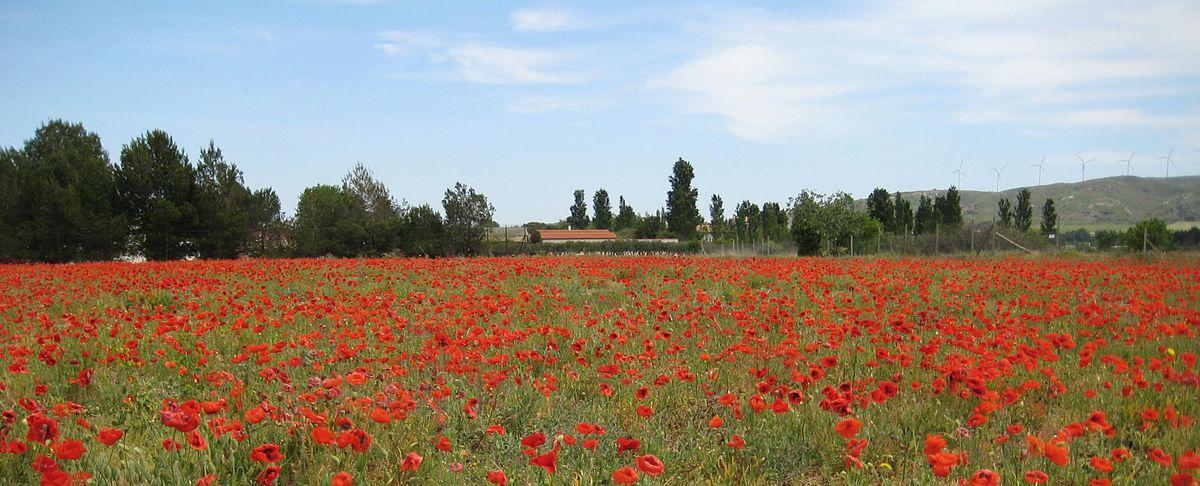 Flores de papoula perto de Narbonne