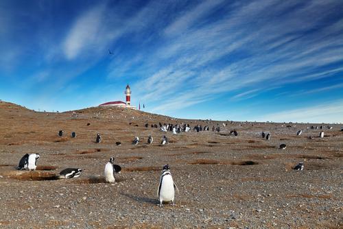 Pingüins na Isla Magdalena, Estreito de Magalhães, Chile.