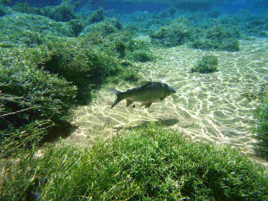 Peixe nadando nas águas cristalinas de um rio de Bonito, no Mato Grosso do Sul.