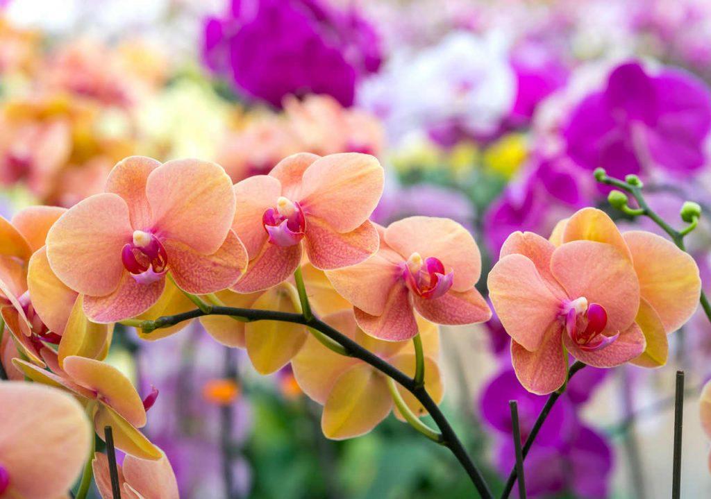 Orquídeas roxas e rosa
