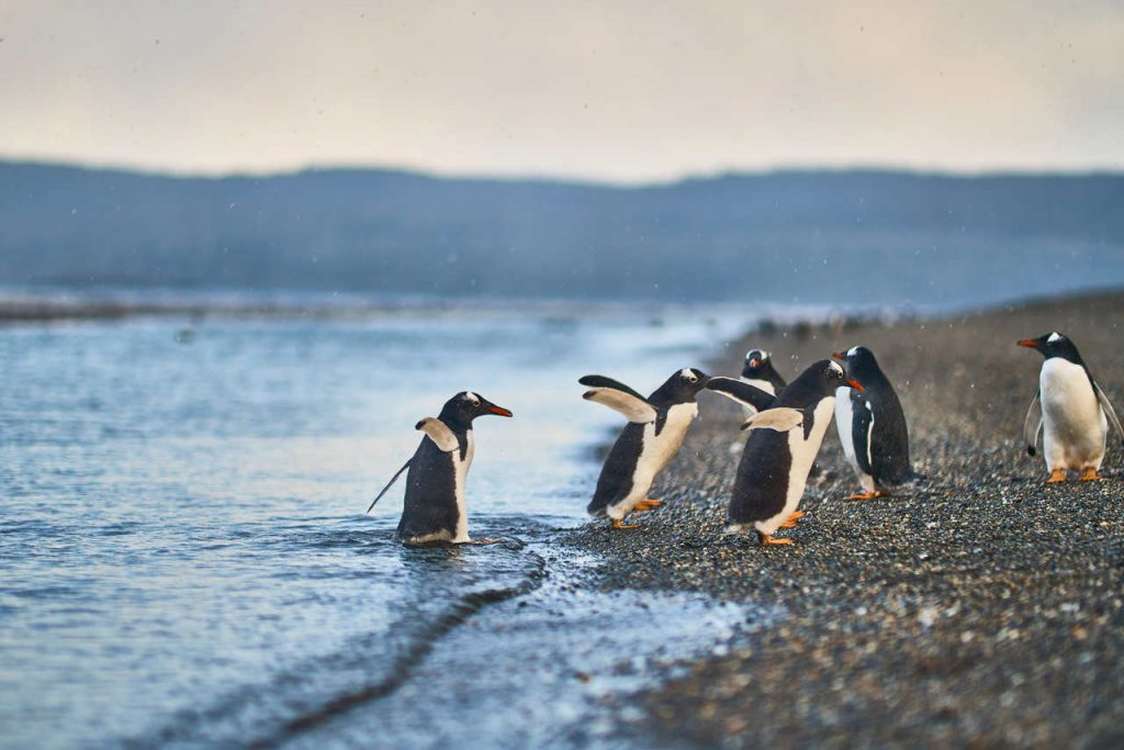 Pinguins nas margens do canal Beagle, em Ushuaia.