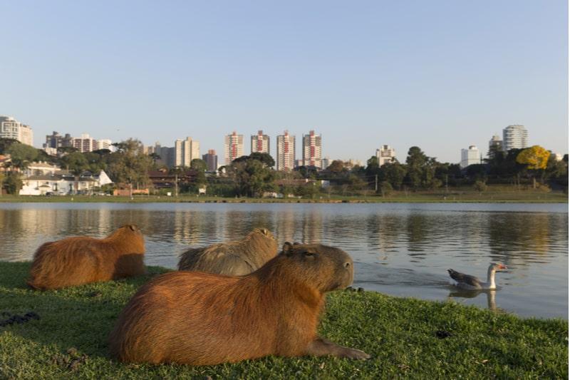 capivaras a beira do lago do parque barigui